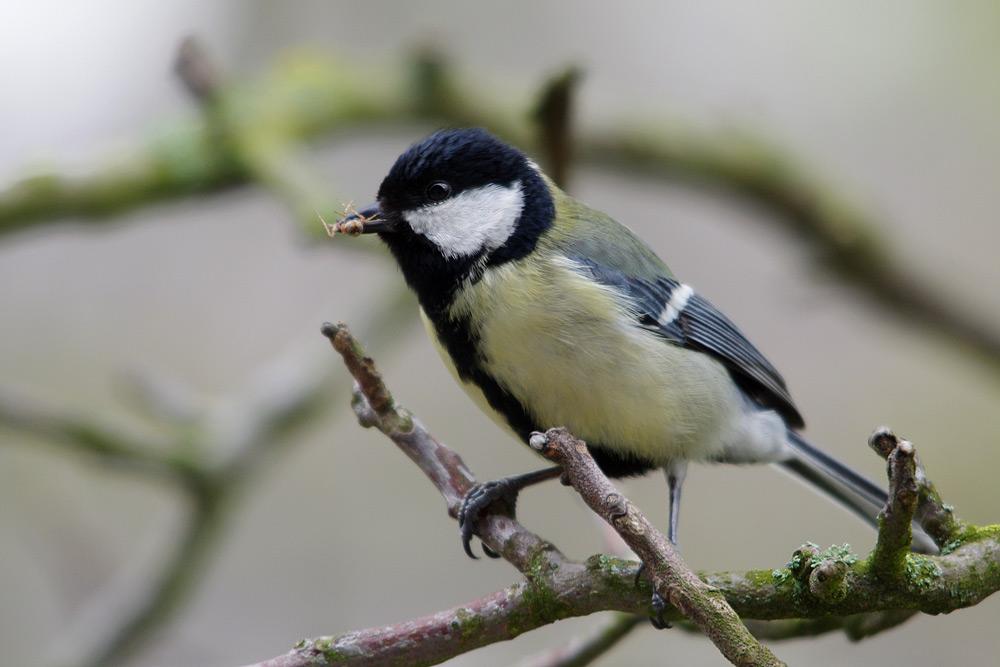 Kohlmeise mit Futter für Jungvögel