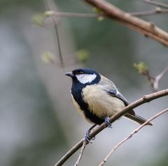 Kohlmeise,, Parus major