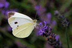 Kohlweißling an Lavendel