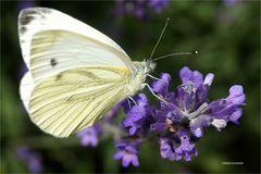 Kohlweissling umschwärmt Lavendel