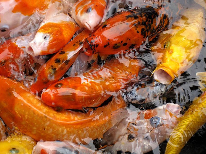 Koi-Fische in Shanghai sind auch hungrig!