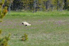 Kojote auf Mäusejagd