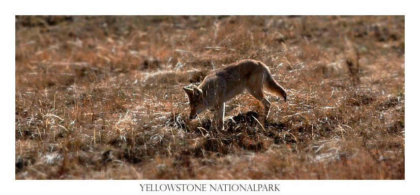 Kojote im Yellowstone Nationalpark, USA