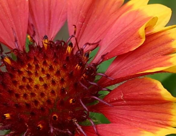 Kokadenblume Detail