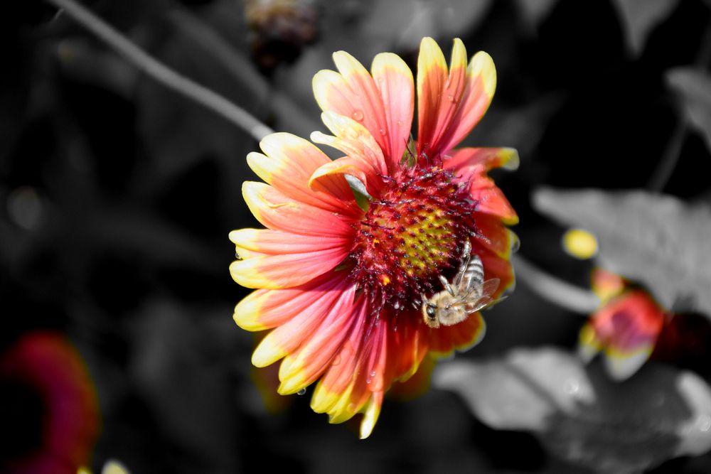 Kokardenblume