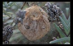 Kokon der Wespenspinne