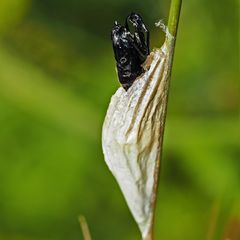 Kokon vom Sechsfleck-Widderchen (Zygaena filipendulae)