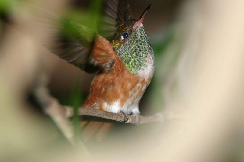 Kolibri 1