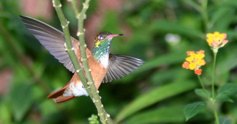 Kolibri 3