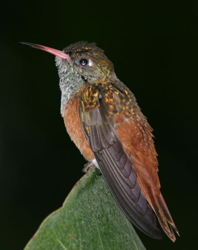 Kolibri 6