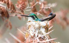 Kolibri auf ihrem Nestchen