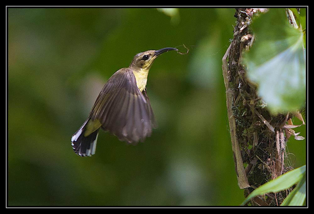 Kolibri beim Nestbau