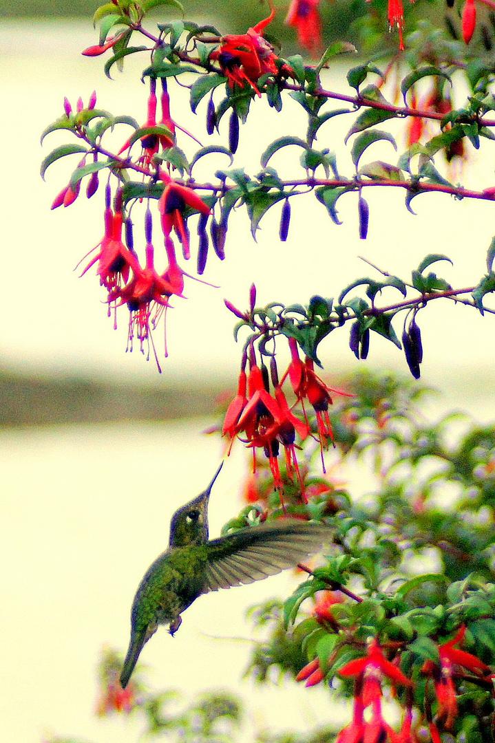 Kolibri (Chile)