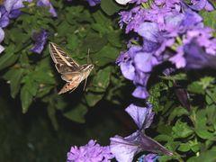 Kolibri-Falter beim Naschen
