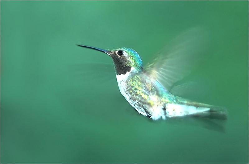 Kolibri im Anflug