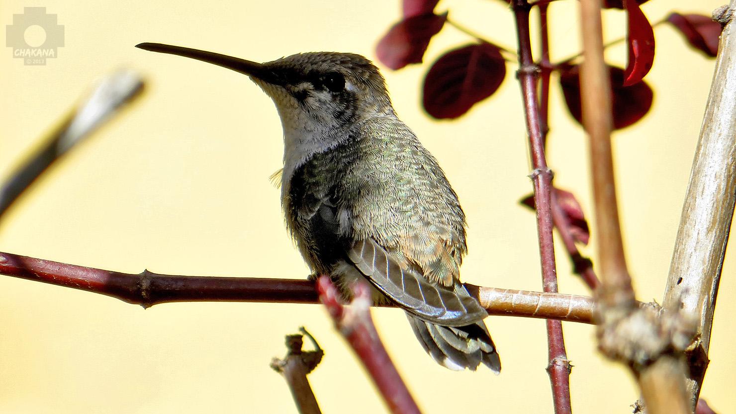 Kolibri im Hotelgarten