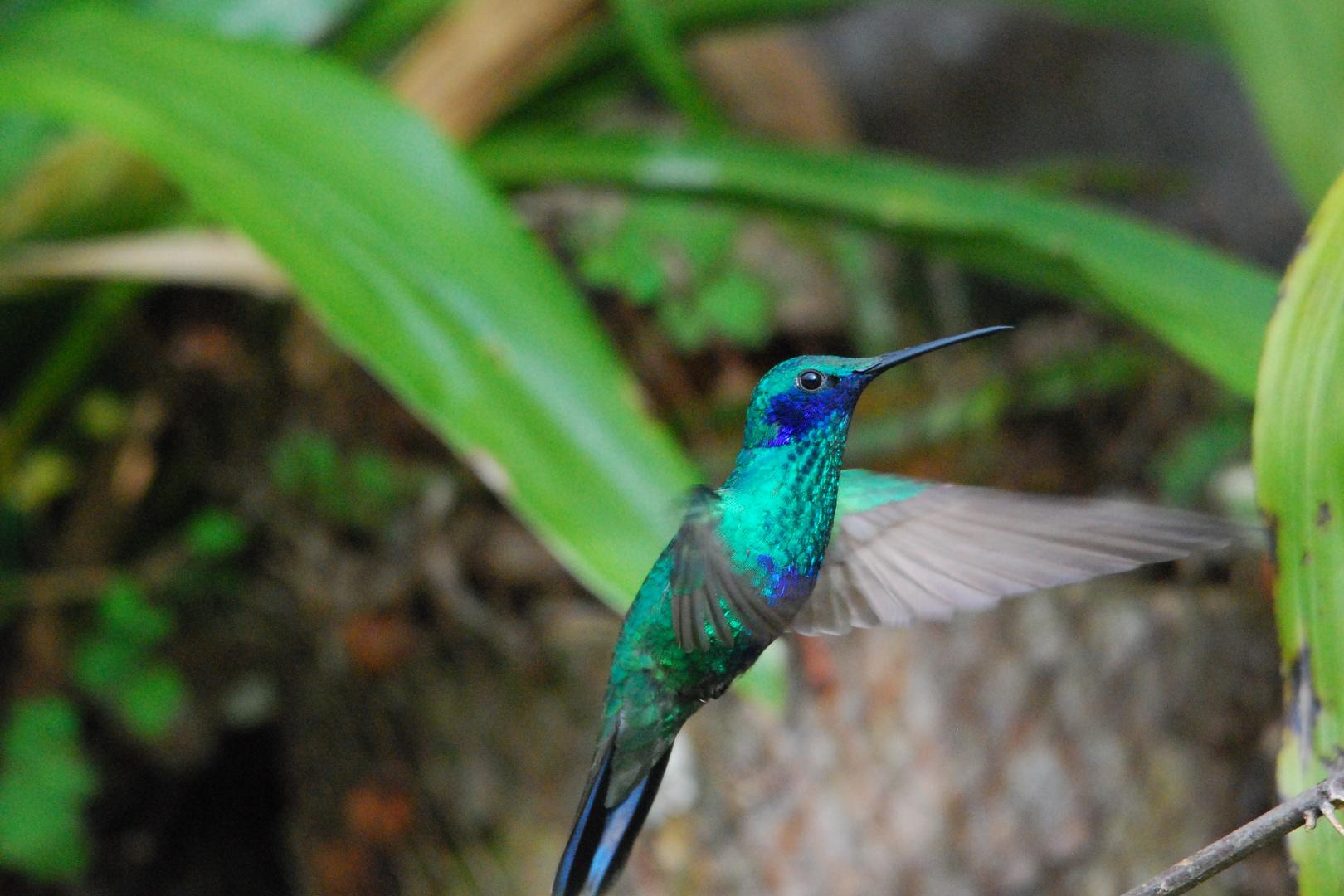 Kolibri im Landeanflug