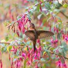 Kolibri in Papallacta - Ecuador