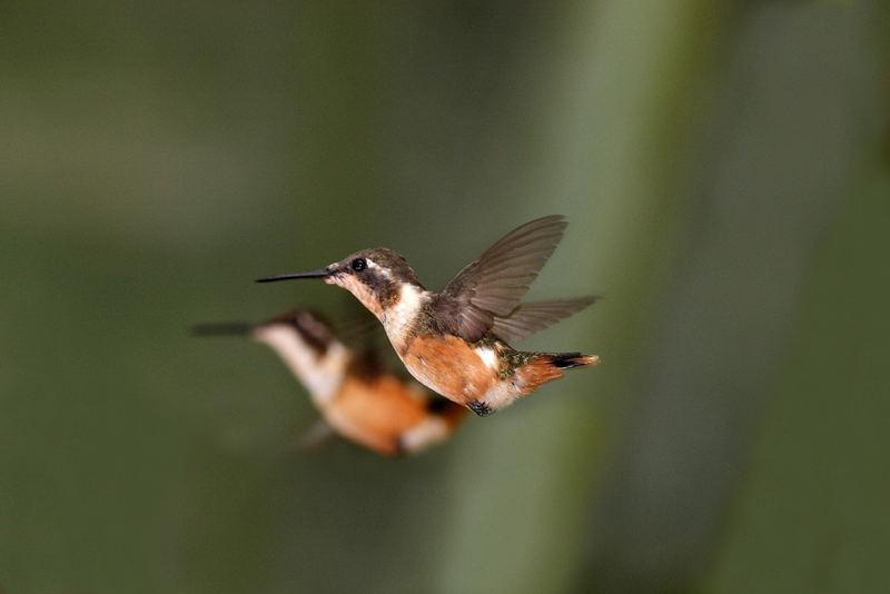 Kolibri mit Freund im Hintergrung beim fliegen