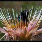 Kolibri mittendrin