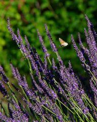 kolibri-nein- Taubenschwänzchen