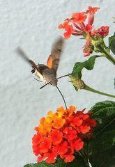 Kolibri-Schwärmer 1