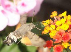 Kolibri-Schwärmer 2