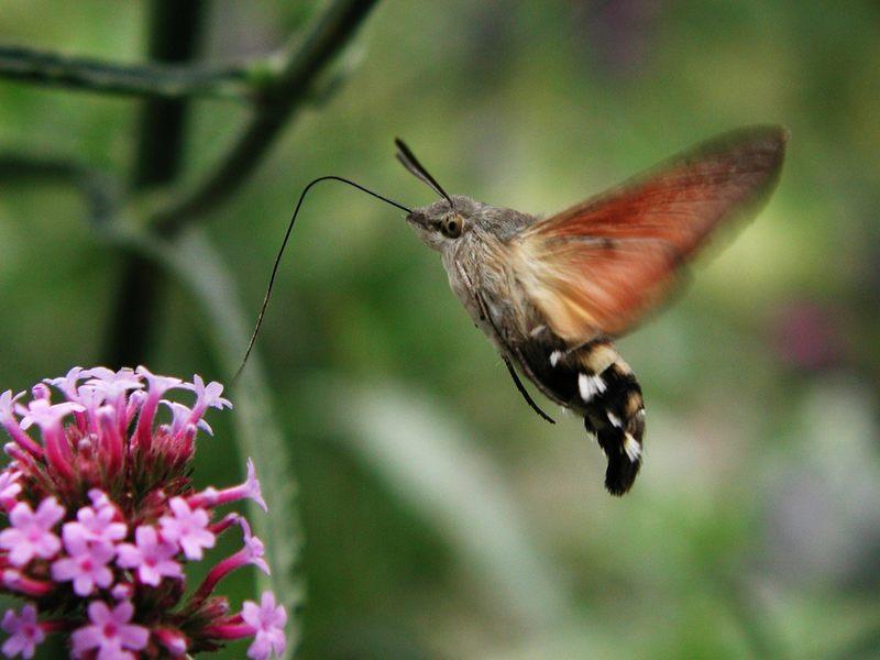 Kolibri-Schwärmer oder Taubenschwänzchen