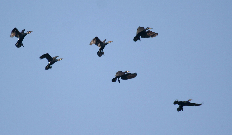 Kolibri-Tanz der Kormorane