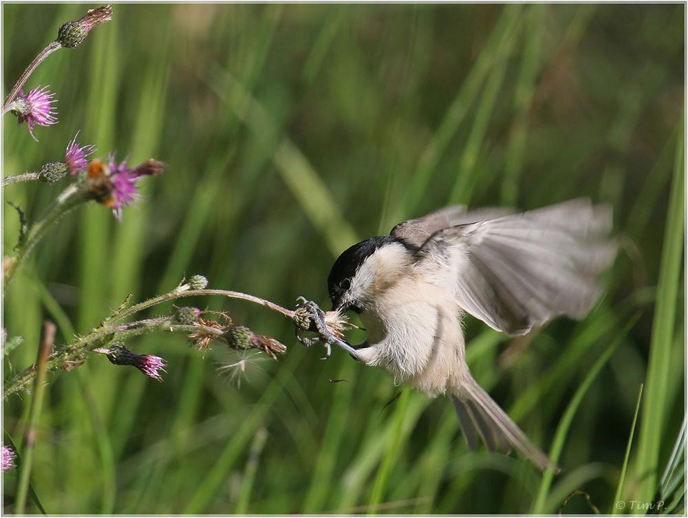 Kolibris.....