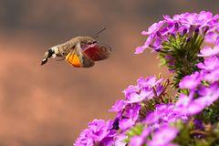 Kolibrischwärmer im Flug (1 von 1)