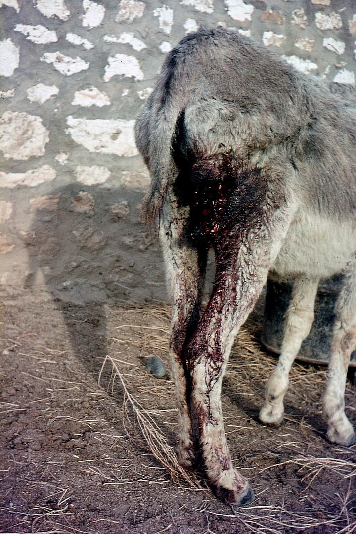 Kollateralschaden eines Wolfsangriffs bei einem Esel,.........