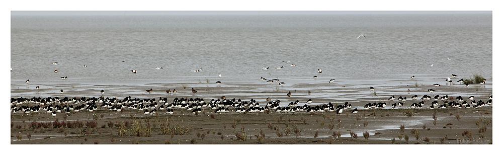 Kolonie der Austernfischer