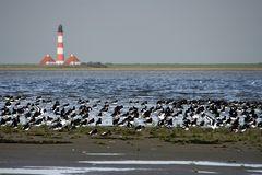 Kolonie von Austernfischern
