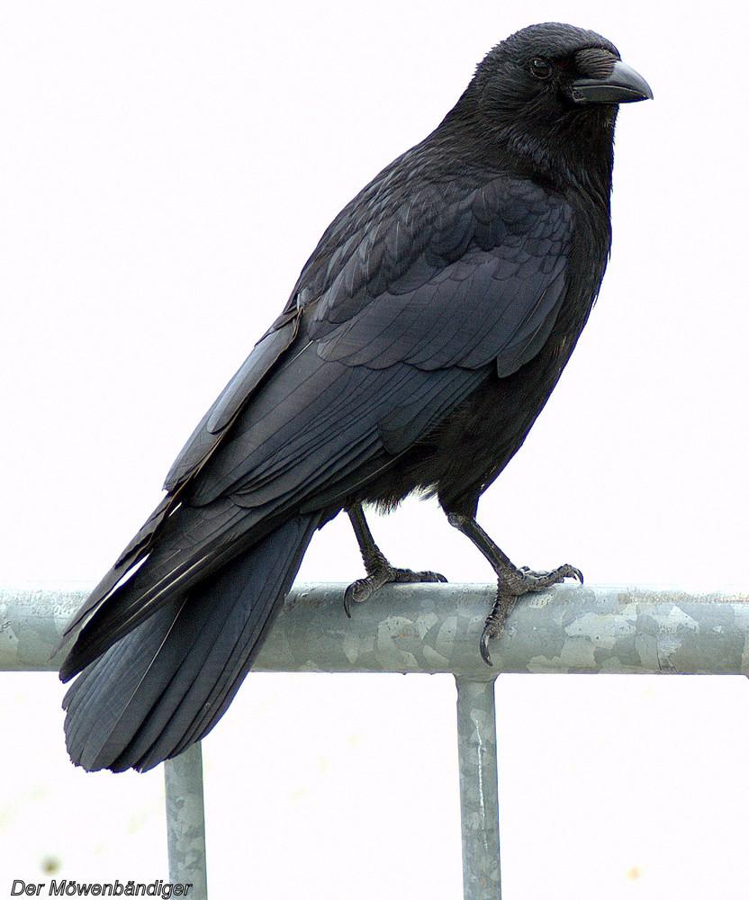 Komm ,grosser schwarzer Vogel