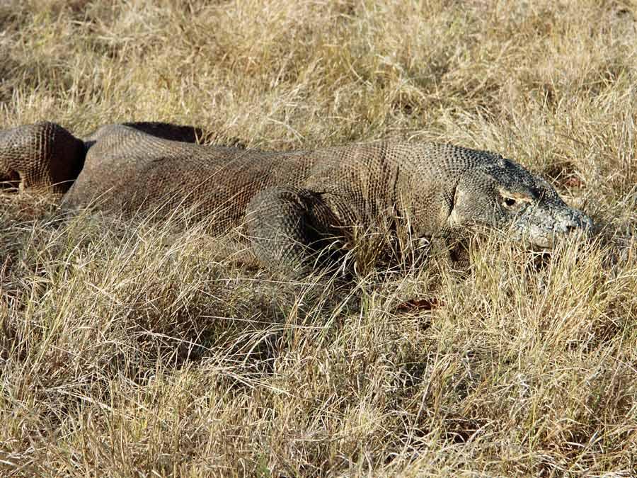 Komodo Drachen im Gras
