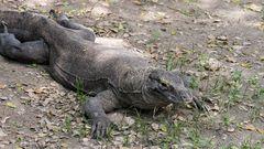Komodo Waran (Komododrache)