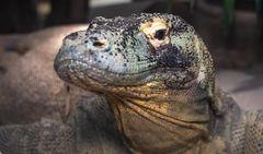Komodo-Waran-Portrait