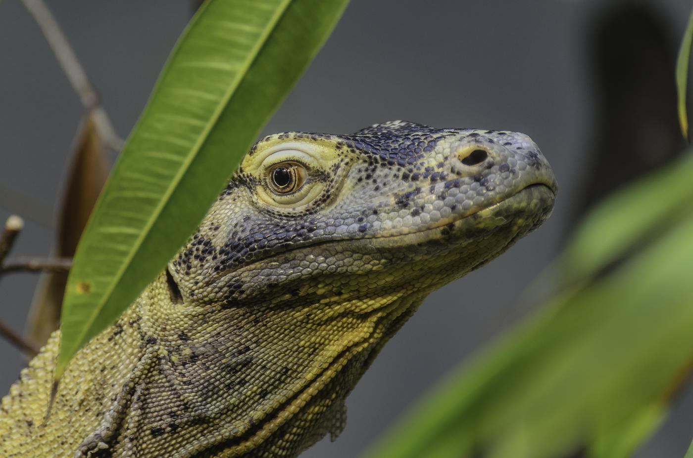 Komodowaran - Portrait