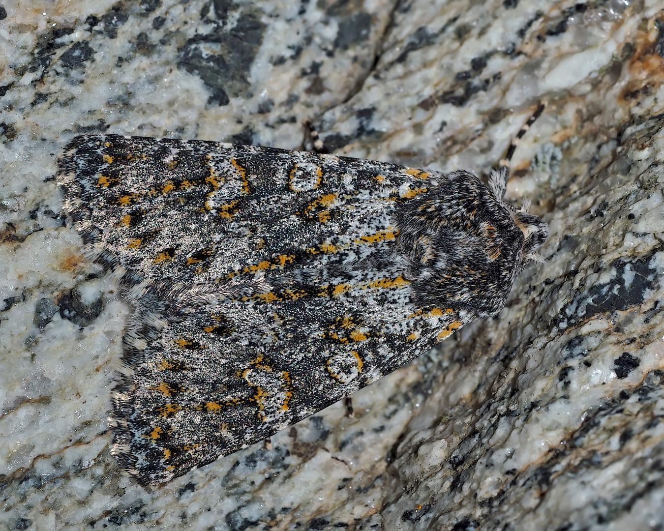 Kompasslattich-Eule (Hecatera dysodea) - La Noctuelle dysodée.