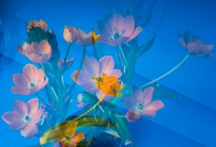 Komposition Milchsternblüten