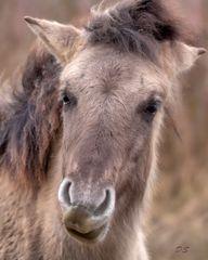 Konik Pferd