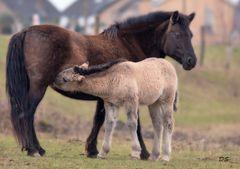 Konik Pferd und Fohlen