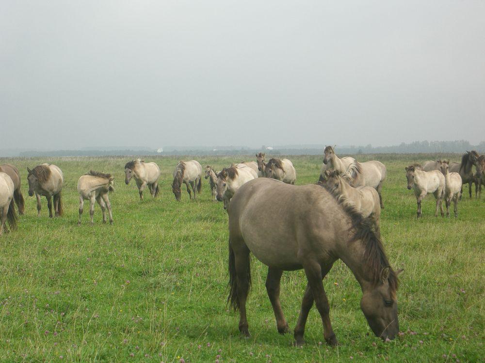 Konik Pferde, 2008