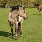 Konik Pferde-Eijsder Beemden (NL)