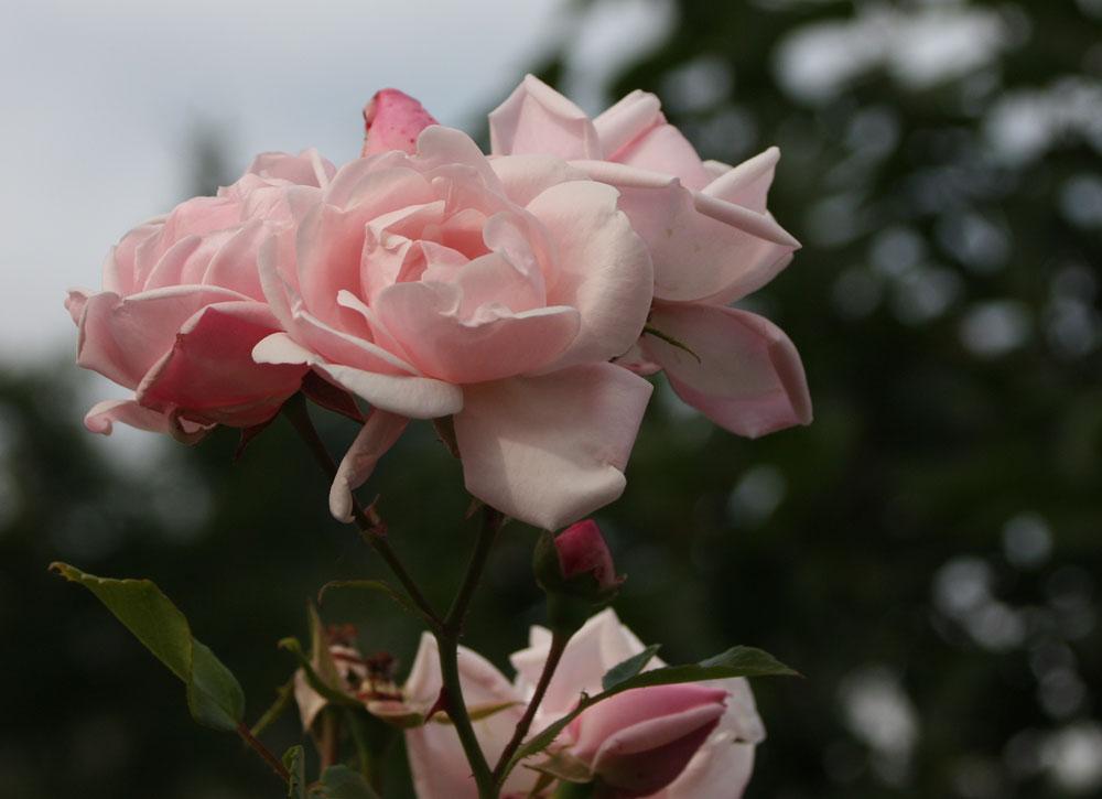 Konserven-Rosen