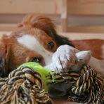 Kooikerhondje und sein Spielzeug 2