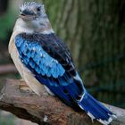 kookaburra-blue-winged