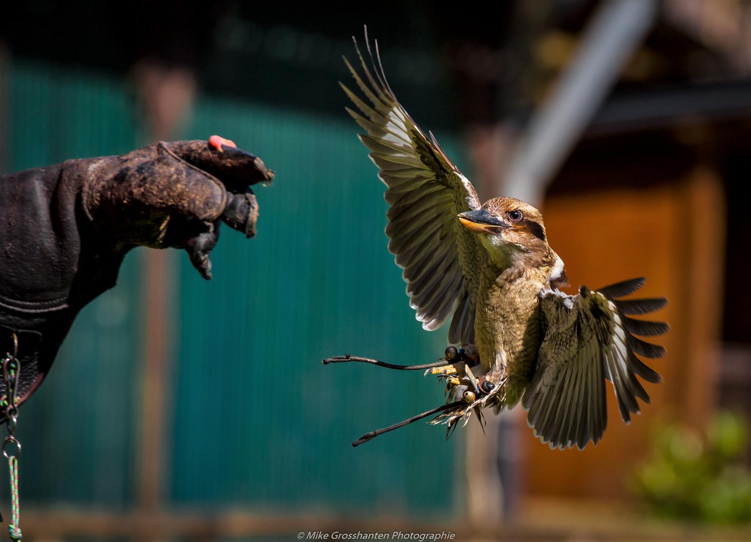 Kookaburra im Anflug