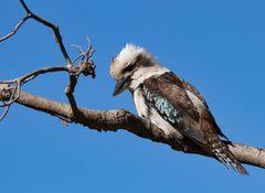 Kookaburra - Jägerliest - Lachender Hans